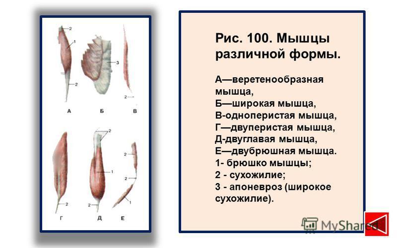 Рис. 100. Мышцы различной формы. Аверетенообразная мышца, Бширокая мышца, В-одноперистая мышца, Гдвуперистая мышца, Д-двуглавая мышца, Едвубрюшная мышца. 1- брюшко мышцы; 2 - сухожилие; 3 - апоневроз (широкое сухожилие).