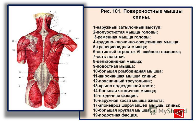 Рис. 101. Поверхностные мышцы спины. 1-наружный затылочный выступ; 2-полуостистая мышца головы; 3-ременная мышца головы; 4-грудино-ключично-сосцевидная мышца; 5-трапециевидная мышца; 6-остистый отросток VII шейного позвонка; 7-ость лопатки; 8-дельтов