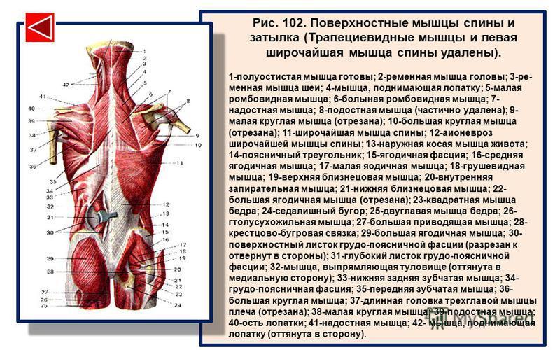 Рис. 102. Поверхностные мышцы спины и затылка (Трапециевидные мышцы и левая широчайшая мышца спины удалены). 1-полуостистая мышца готовы; 2-ременная мышца головы; 3-ре- менная мышца шеи; 4-мышца, поднимающая лопатку; 5-малая ромбовидная мышца; 6-болы