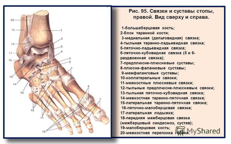 Рис. 95. Связки и суставы стопы, правой. Вид сверху и справа. 1-большеберцовая кость; 2-блок таранной кости; 3-медиальная (дельтовидная) связка; 4-тыльная таранно-ладьевидная связка; 5-пяточно-ладьевидная связка; 6-пяточно-кубовидная связка (5 и 6- р