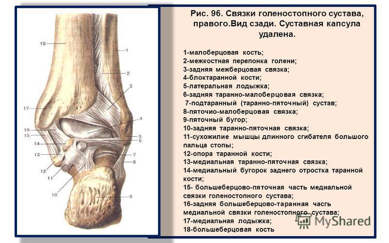Рис. 96. Связки голеностопного сустава, правого.Вид сзади. Суставная капсула удалена. 1-малоберцовая кость; 2-межкостная перепонка голени; 3-задняя межберцовая связка; 4-блоктаранной кости; 5-латеральная лодыжка; 6-задняя таранно-малоберцовая связка;