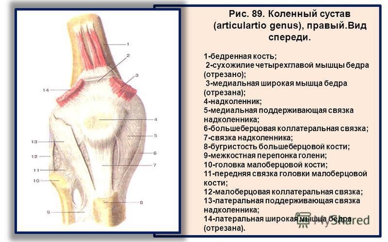 Рис. 89. Коленный сустав (articulartio genus), правый.Вид спереди. 1-бедренная кость; 2-сухожилие четырехглавой мышцы бедра (отрезано); 3-медиальная широкая мышца бедра (отрезана); 4-надколенник; 5-медиальная поддерживающая связка надколенника; 6-бол