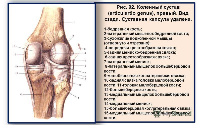 Рис. 92. Коленный сустав (articulartio genus), правый. Вид сзади. Суставная капсула удалена. 1-бедренная кость; 2-латеральный мыщелок бедренной кости; 3-сухожилие подколенной мышцы (отвернуто и отрезано); 4-пе-редняя крестообразная связка; 5-задняя м