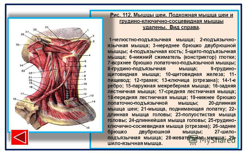 Рис. 112. Мышцы шеи. Подкожная мышца шеи и грудино-ключично-сосцевидная мышцы удалены. Вид справа. 1-челюстно-подъязычная мышца; 2-подъязычно- язычная мышца; 3-нереднее брюшко двубрюшной мышцы; 4-подъязычная кость; 5-щита-подъязычная мьшща; 6-нижниЙ