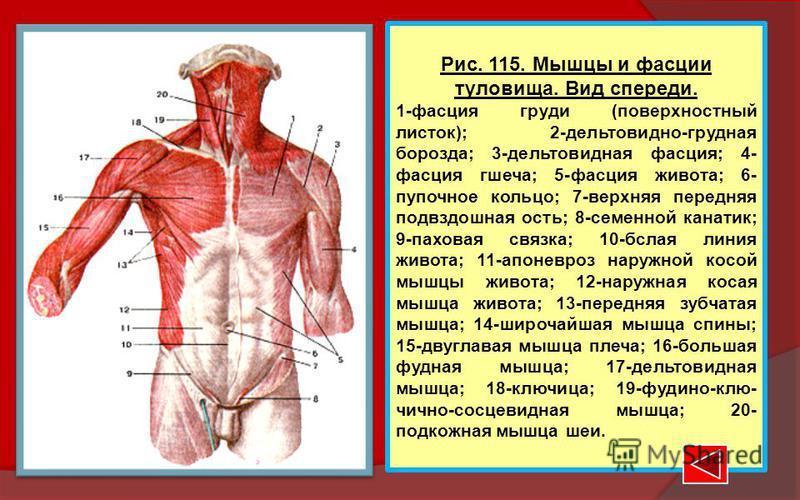 Рис. 115. Мышцы и фасции туловища. Вид спереди. 1-фасция груди (поверхностный листок); 2-дельтовидно-грудная борозда; 3-дельтовидная фасция; 4- фасция греча; 5-фасция живота; 6- пупочное кольцо; 7-верхняя передняя подвздошная ость; 8-семенной канатик