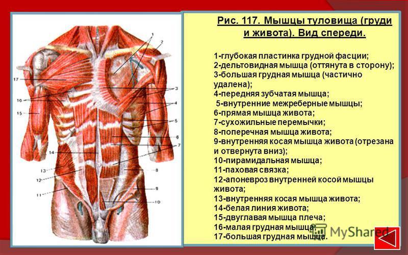 Рис. 117. Мышцы туловища (груди и живота). Вид спереди. 1-глубокая пластинка грудной фасции; 2-дельтовидная мышца (оттянута в сторону); 3-большая грудная мышца (частично удалена); 4-передняя зубчатая мышца; 5-внутренние межреберные мышцы; 6-прямая мы