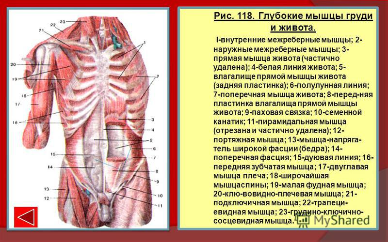 Рис. 118. Глубокие мышцы груди и живота. I-внутренние межреберные мышцы; 2- наружные межреберные мышцы; 3- прямая мышца живота (частично удалена); 4-белая линия живота; 5- влагалище прямой мышцы живота (задняя пластинка); 6-полулунная линия; 7-попере