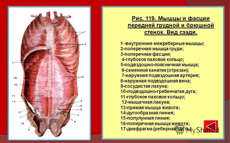 Рис. 119. Мышцы и фасции передней грудной и брюшной стенок. Вид сзади. 1 -внутренние межреберные мышцы; 2-поперечная мышца груди; 3-поперечная фасция; 4-глубокое паховое кольцо; 5-подвздошно-поясничная мышца; 6-семенной канатик (отрезан); 7-наружная