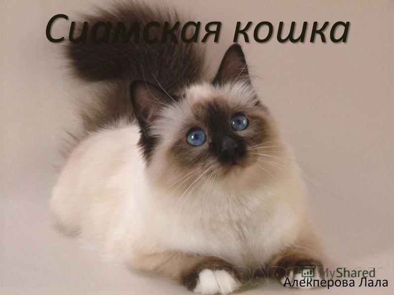 Сиамская кошка Алекперова Лала