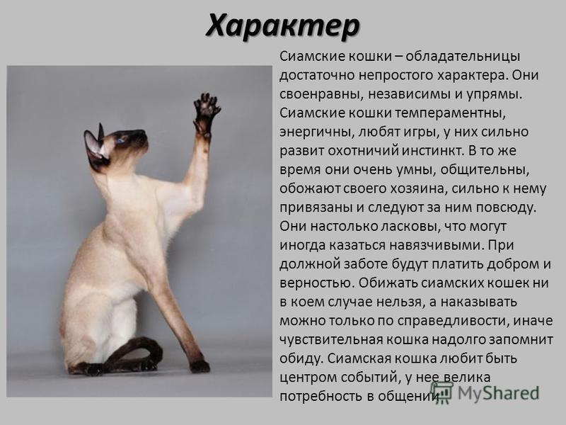Характер Сиамские кошки – обладательницы достаточно непростого характера. Они своенравны, независимы и упрямы. Сиамские кошки темпераментны, энергичны, любят игры, у них сильно развит охотничий инстинкт. В то же время они очень умны, общительны, обож