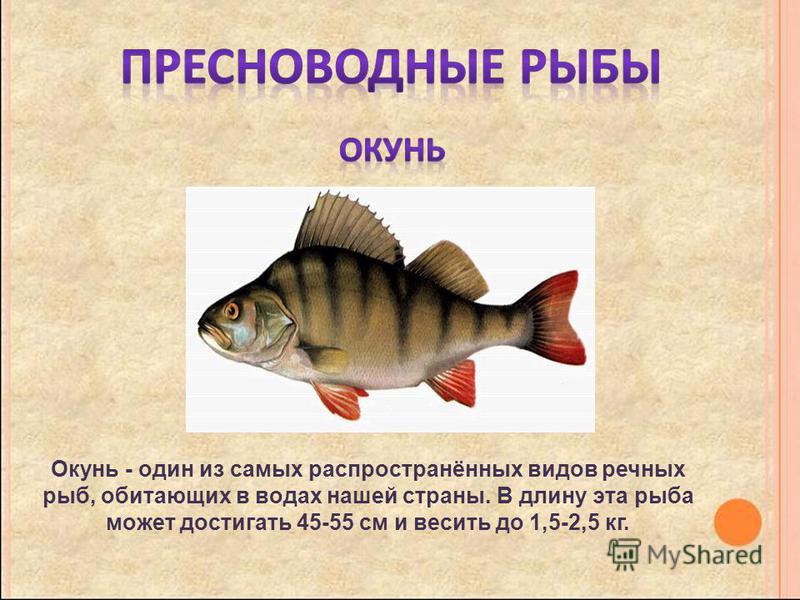 Окунь - один из самых распространённых видов речных рыб, обитающих в водах нашей страны. В длину эта рыба может достигать 45-55 см и весить до 1,5-2,5 кг.