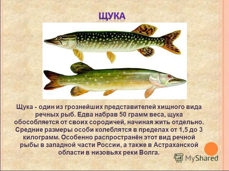 Щука - один из грознейших представителей хищного вида речных рыб. Едва набрав 50 грамм веса, щука обособляется от своих сородичей, начиная жить отдельно. Средние размеры особи колеблется в пределах от 1,5 до 3 килограмм. Особенно распространён этот в