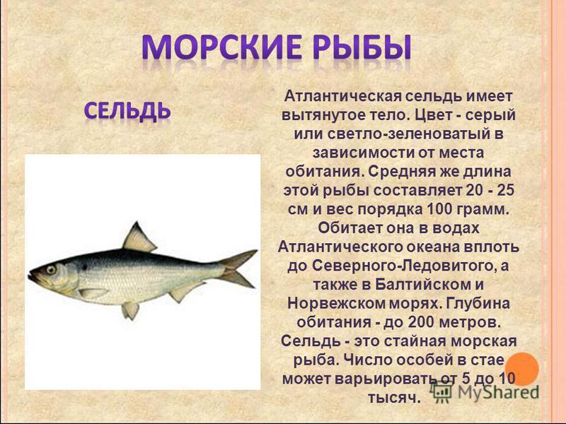Атлантическая сельдь имеет вытянутое тело. Цвет - серый или светло-зеленоватый в зависимости от места обитания. Средняя же длина этой рыбы составляет 20 - 25 см и вес порядка 100 грамм. Обитает она в водах Атлантического океана вплоть до Северного-Ле