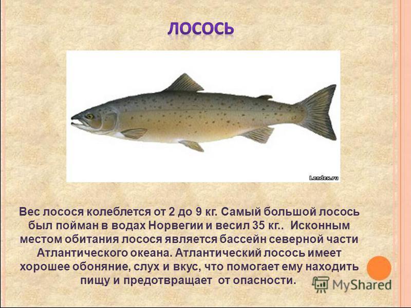 Вес лосося колеблется от 2 до 9 кг. Самый большой лосось был пойман в водах Норвегии и весил 35 кг.. Исконным местом обитания лосося является бассейн северной части Атлантического океана. Атлантический лосось имеет хорошее обоняние, слух и вкус, что