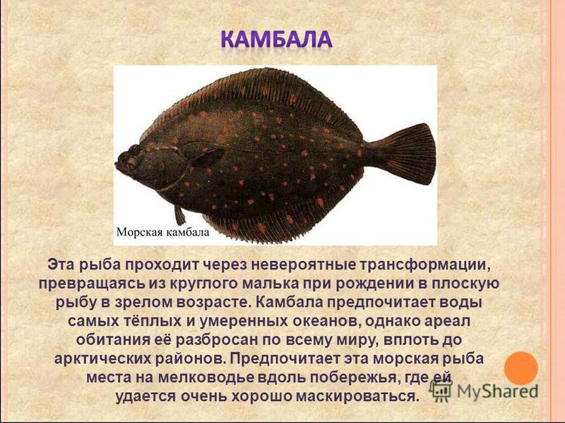 Эта рыба проходит через невероятные трансформации, превращаясь из круглого малька при рождении в плоскую рыбу в зрелом возрасте. Камбала предпочитает воды самых тёплых и умеренных океанов, однако ареал обитания её разбросан по всему миру, вплоть до а