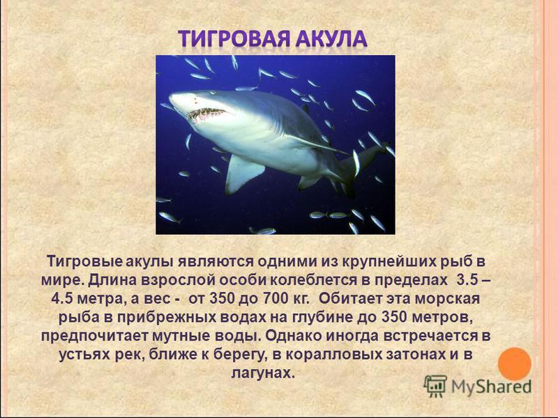 Тигровые акулы являются одними из крупнейших рыб в мире. Длина взрослой особи колеблется в пределах 3.5 – 4.5 метра, а вес - от 350 до 700 кг. Обитает эта морская рыба в прибрежных водах на глубине до 350 метров, предпочитает мутные воды. Однако иног