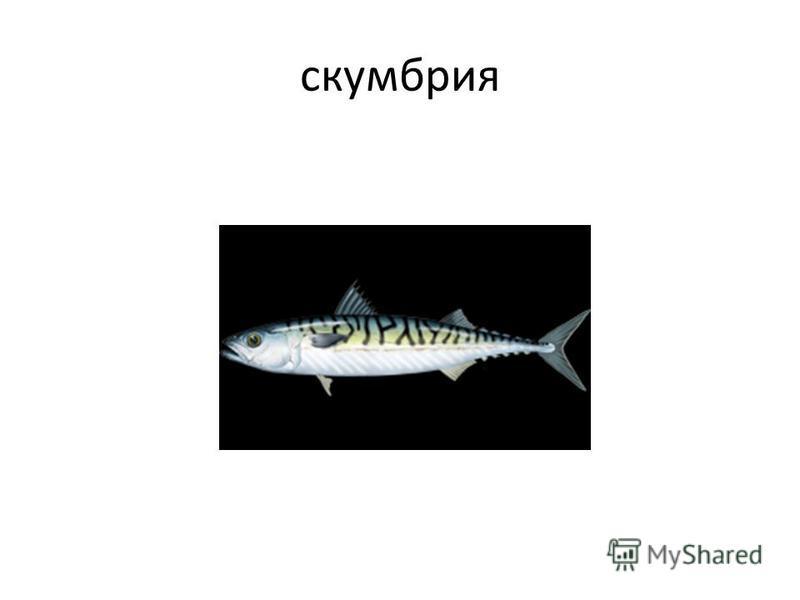 скумбрия