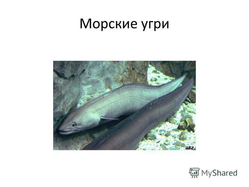 Морские угри