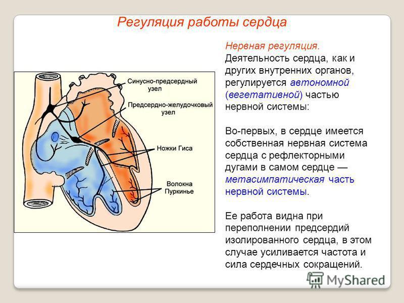 Регуляция работы сердца Нервная регуляция. Деятельность сердца, как и других внутренних органов, регулируется автономной (вегетативной) частью нервной системы: Во-первых, в сердце имеется собственная нервная система сердца с рефлекторными дугами в са