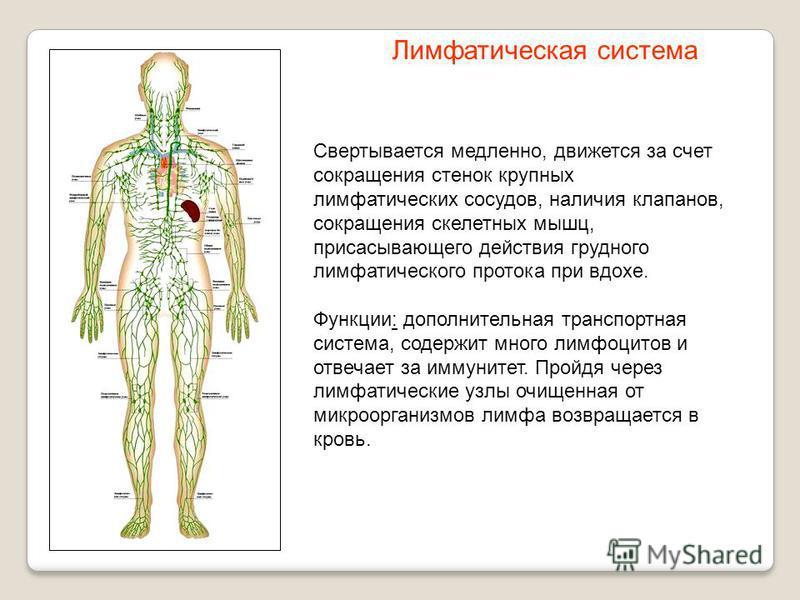 Свертывается медленно, движется за счет сокращения стенок крупных лимфатических сосудов, наличия клапанов, сокращения скелетных мышц, присасывающего действия грудного лимфатического протока при вдохе. Функции: дополнительная транспортная система, сод