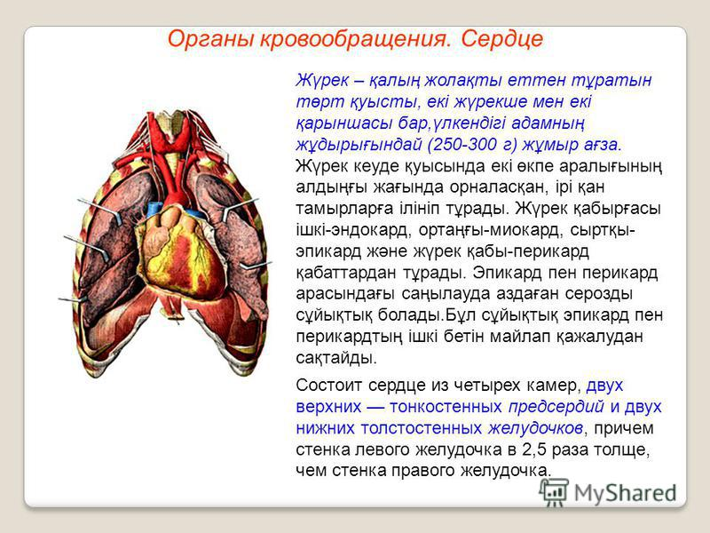 Органы кровообращения. Сердце Жүрек – қалың жолақты тен тұратын төрт қуысты, екі жүрекше мен екі қарыншасы бар,үлкендігі адамның жұдырығындай (250-300 г) жұмыр ағза. Жүрек куеде қуысында екі өкпе аралығының алдыңғы жағында орналасқан, ірі қан тамырла
