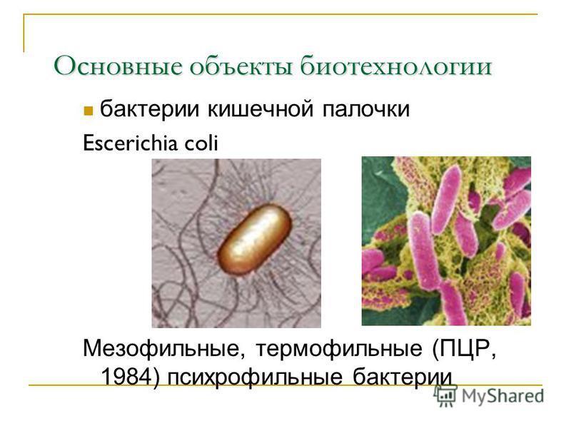 Основные объекты биотехнологии бактерии кишечной палочки Escerichia coli Мезофильные, термофильные (ПЦР, 1984) психрофильные бактерии