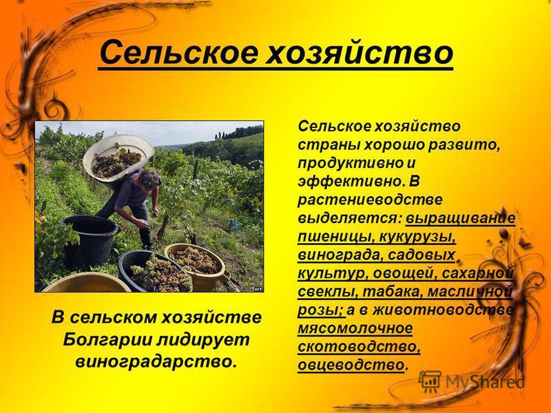 Сельское хозяйство В сельском хозяйстве Болгарии лидирует виноградарство. Сельское хозяйство страны хорошо развито, продуктивно и эффективно. В растениеводстве выделяется: выращивание пшеницы, кукурузы, винограда, садовых культур, овощей, сахарной св