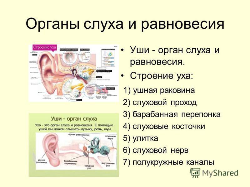 Органы слуха и равновесия Уши - орган слуха и равновесия. Строение уха: 1) ушная раковина 2) слуховой проход 3) барабанная перепонка 4) слуховые косточки 5) улитка 6) слуховой нерв 7) полукружные каналы
