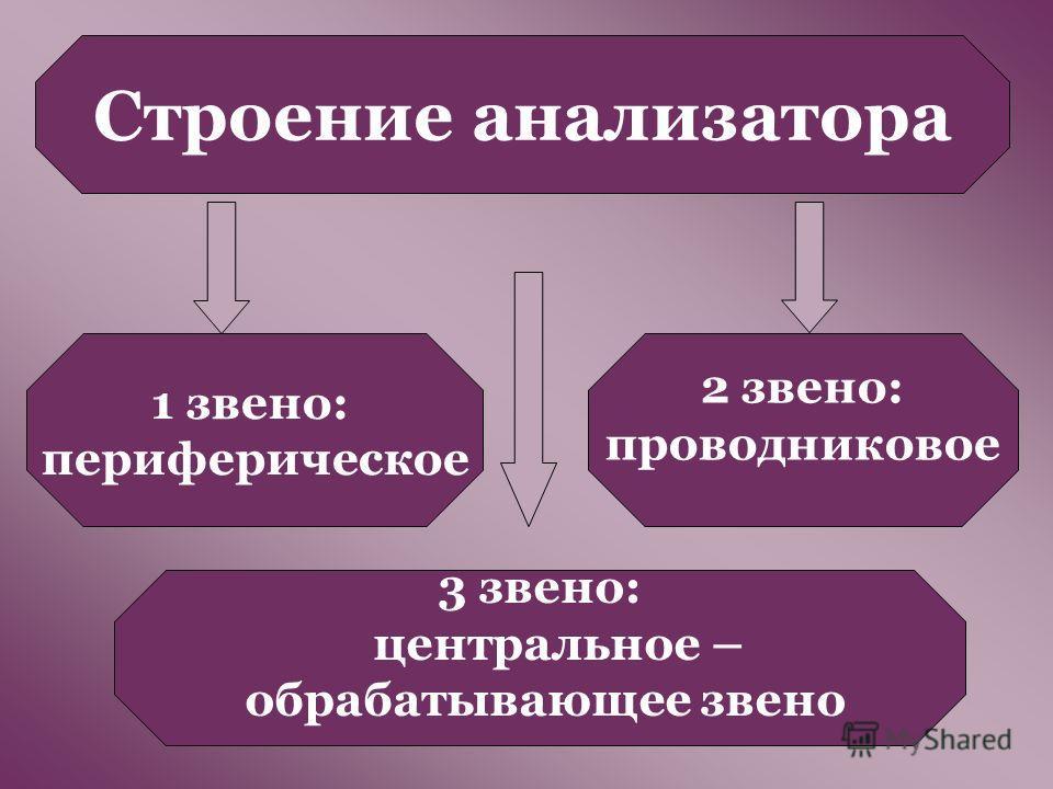 Строение анализатора 1 звено: периферическое 3 звено: центральное – обрабатывающее звено 2 звено: проводниковое