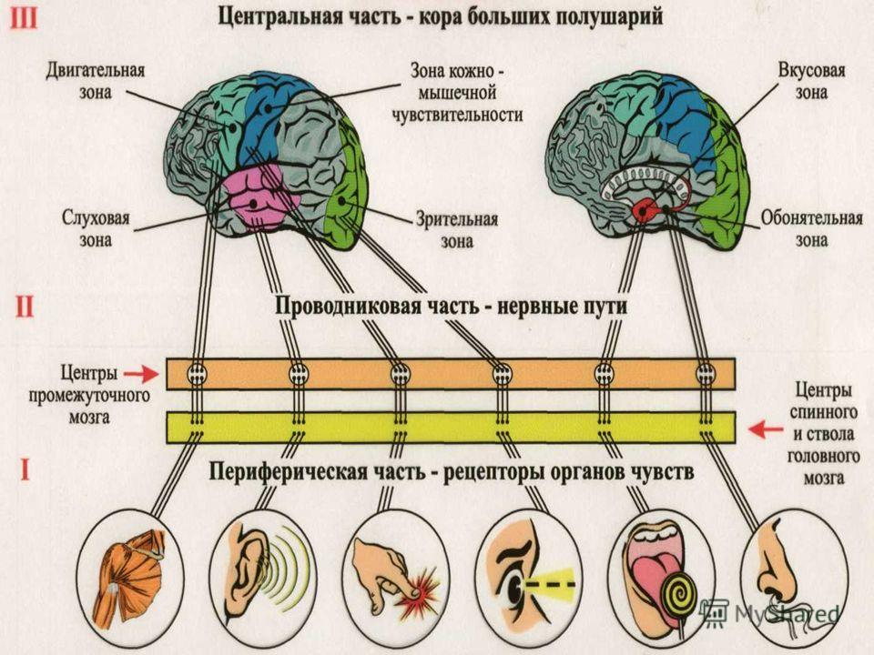 Контрольная работа по теме Нервная система Ответы Айумка Контрольная работа биологии нервная система органы чувств