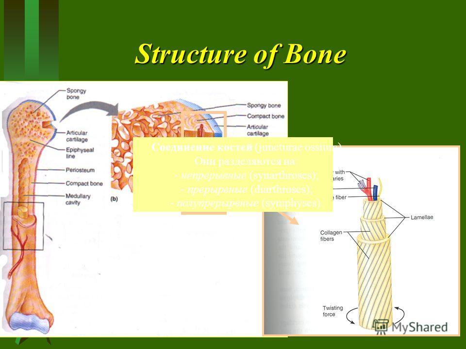 Structure of Bone Соединение костей (juncturae ossium) Они разделяются на: - непрерывные (synarthroses); - прерырвные (diarthroses); - полупрерырвные (symphyses).