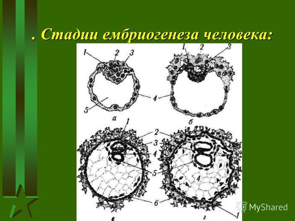 . Стадии ембриогенеза человека:
