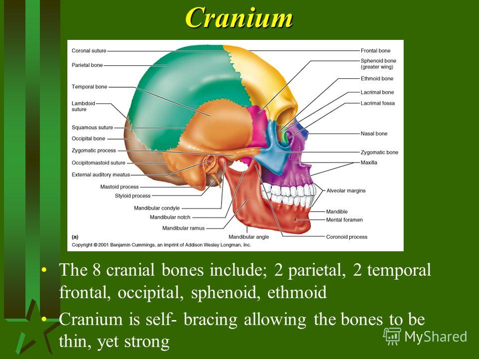 Cranium The 8 cranial bones include; 2 parietal, 2 temporal frontal, occipital, sphenoid, ethmoid Cranium is self- bracing allowing the bones to be thin, yet strong
