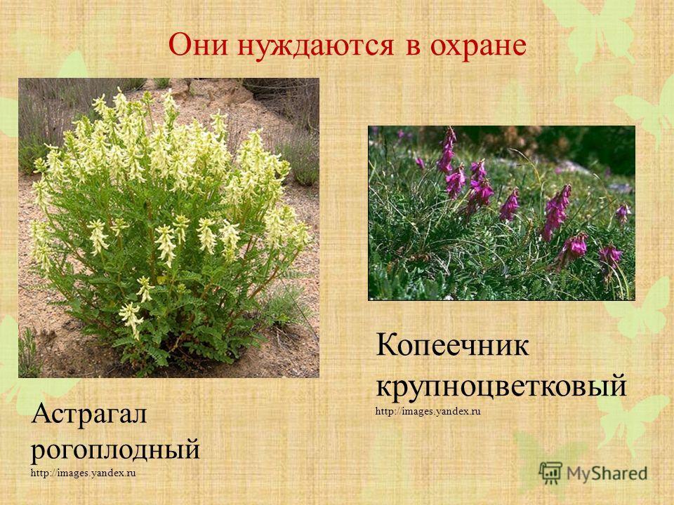Они нуждаются в охране Астрагал рогоплодный http://images.yandex.ru Копеечник крупноцветковый http://images.yandex.ru