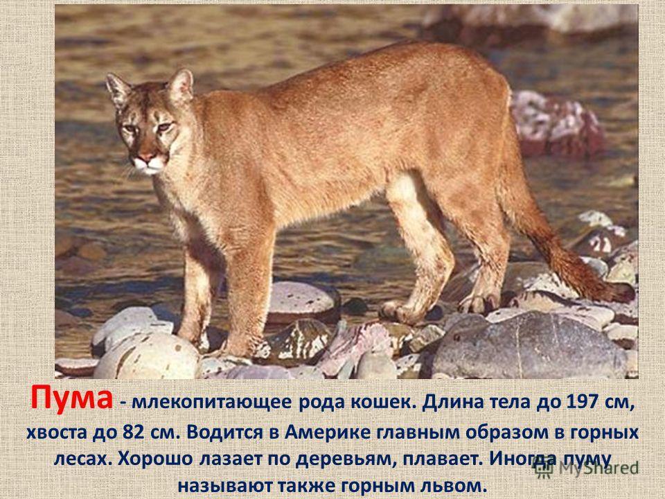 Пума - млекопитающее рода кошек. Длина тела до 197 см, хвоста до 82 см. Водится в Америке главным образом в горных лесах. Хорошо лазает по деревьям, плавает. Иногда пуму называют также горным львом.