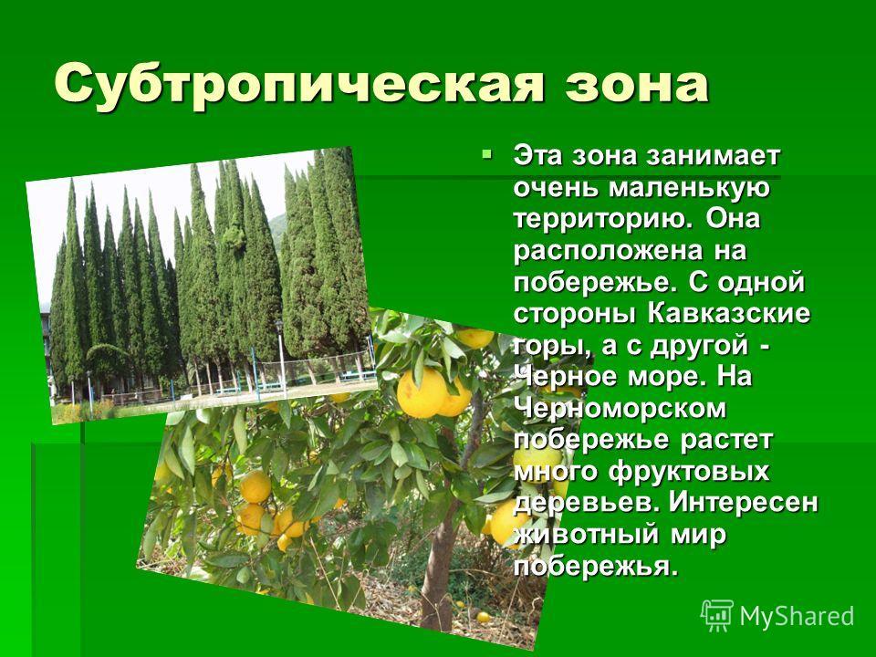 Субтропическая зона Эта зона занимает очень маленькую территорию. Она расположена на побережье. С одной стороны Кавказские горы, а с другой - Черное море. На Черноморском побережье растет много фруктовых деревьев. Интересен животный мир побережья. Эт
