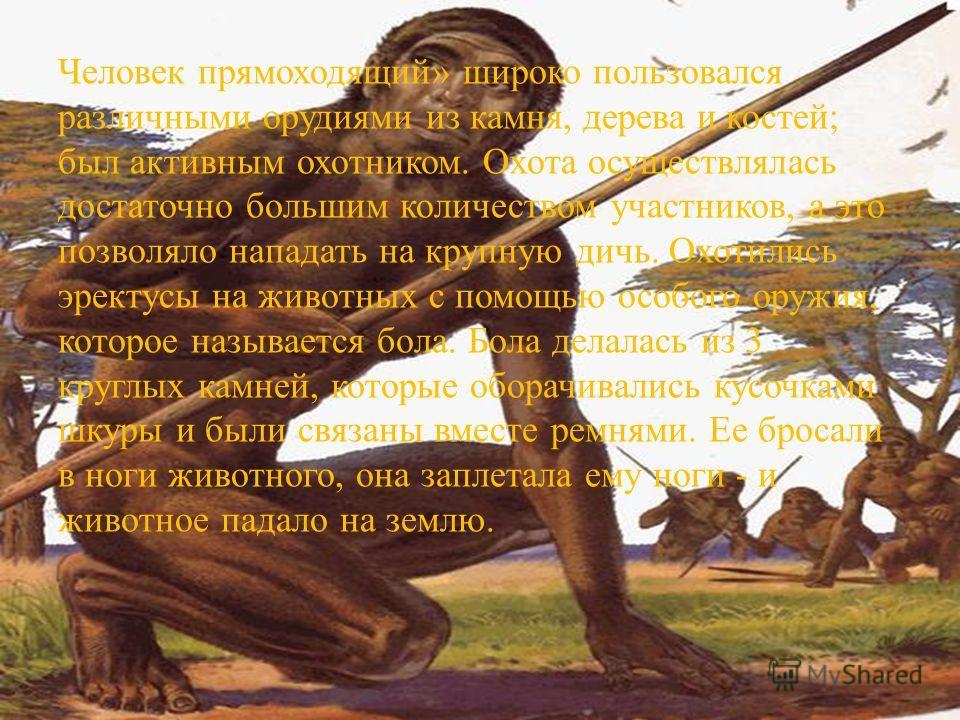 Человек прямоходящий» широко пользовался различными орудиями из камня, дерева и костей; был активным охотником. Охота осуществлялась достаточно большим количеством участников, а это позволяло нападать на крупную дичь. Охотились эректусы на животных с