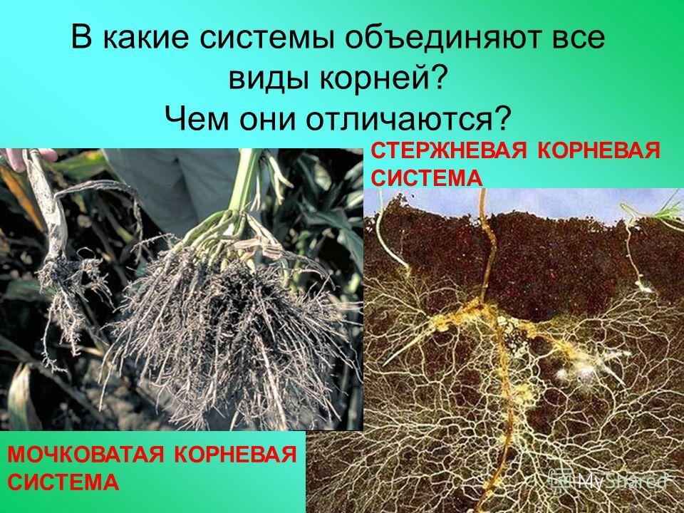 В какие системы объединяют все виды корней? Чем они отличаются? МОЧКОВАТАЯ КОРНЕВАЯ СИСТЕМА СТЕРЖНЕВАЯ КОРНЕВАЯ СИСТЕМА