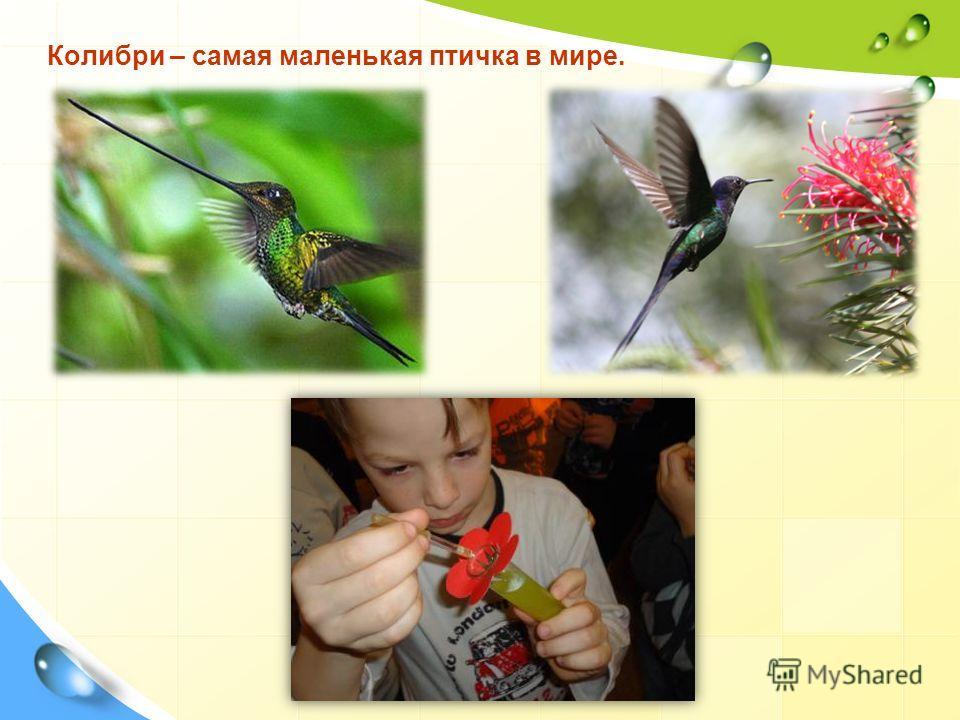 Колибри – самая маленькая птичка в мире.
