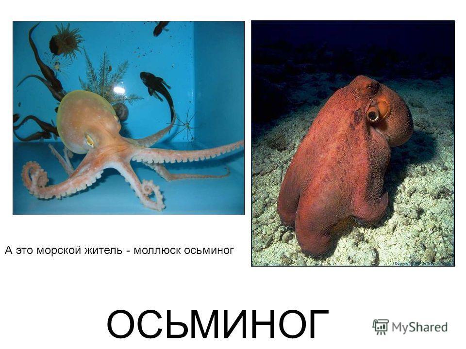 ОСЬМИНОГ А это морской житель - моллюск осьминог Осьминог а это морской житель - моллюск осьминог