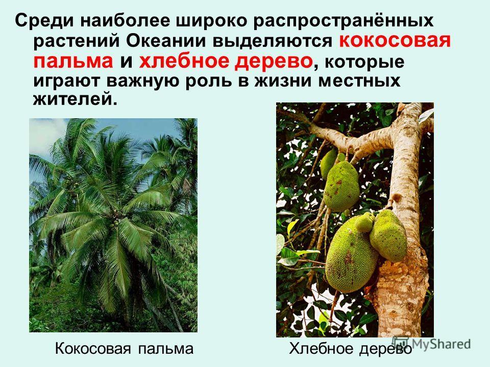 Кокосовая пальма Хлебное дерево Среди наиболее широко распространённых растений Океании выделяются кокосовая пальма и хлебное дерево, которые играют важную роль в жизни местных жителей.