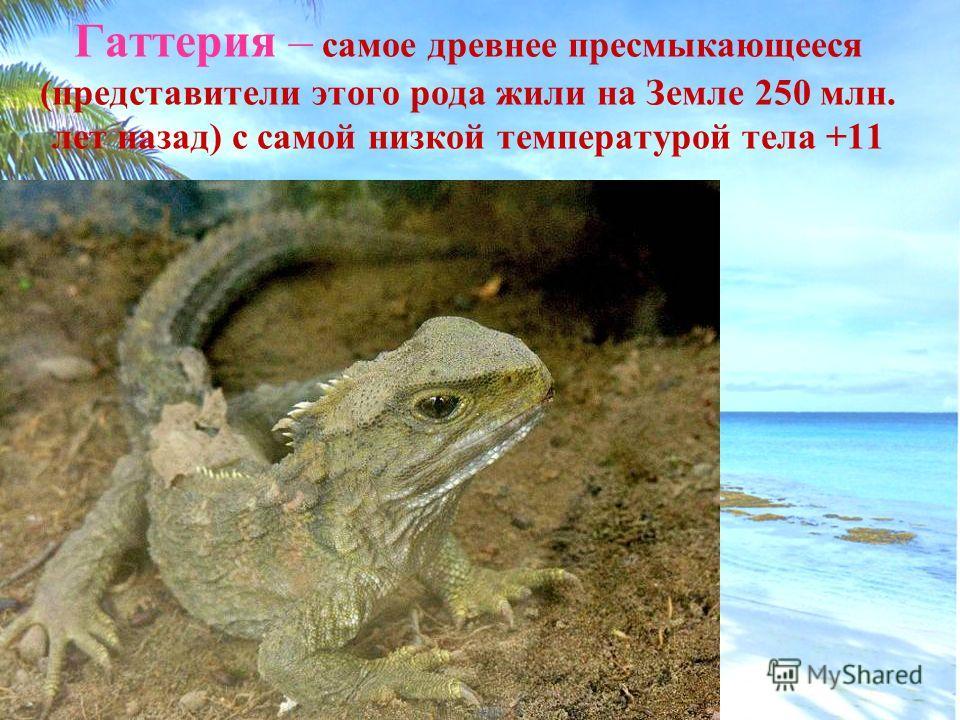 Гаттерия – самое древнее пресмыкающееся (представители этого рода жили на Земле 250 млн. лет назад) с самой низкой температурой тела +11