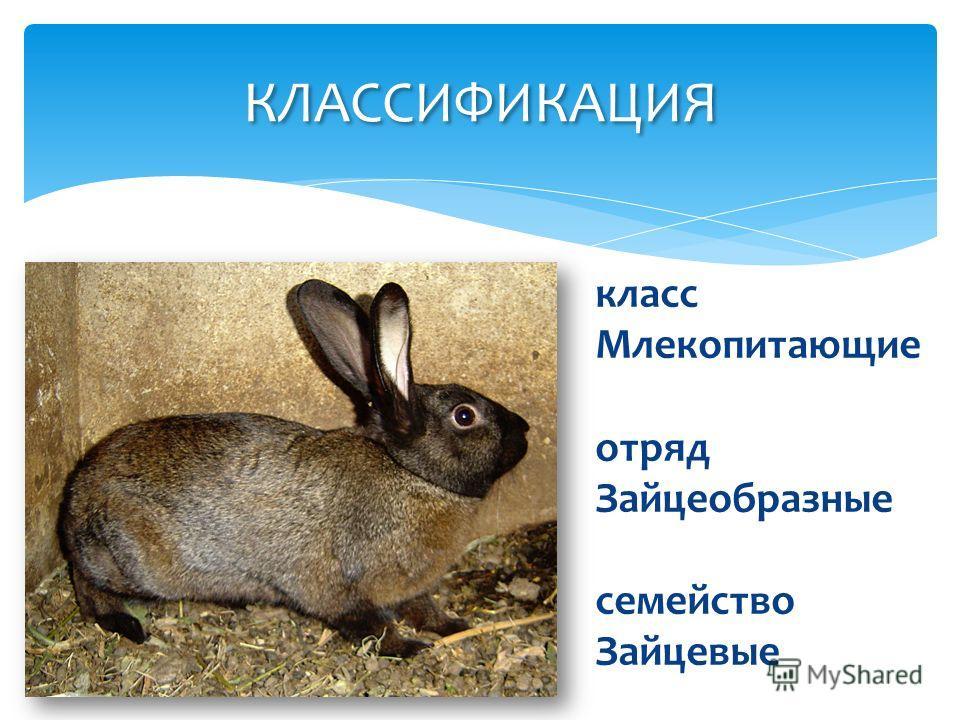 КЛАССИФИКАЦИЯ класс Млекопитающие отряд Зайцеобразные семейство Зайцевые