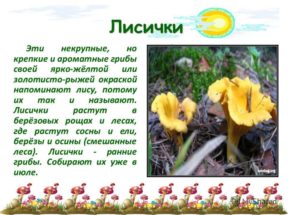 Лисички Эти некрупные, но крепкие и ароматные грибы своей ярко-жёлтой или золотисто-рыжей окраской напоминают лису, потому их так и называют. Лисички растут в берёзовых рощах и лесах, где растут сосны и ели, берёзы и осины (смешанные леса). Лисички -