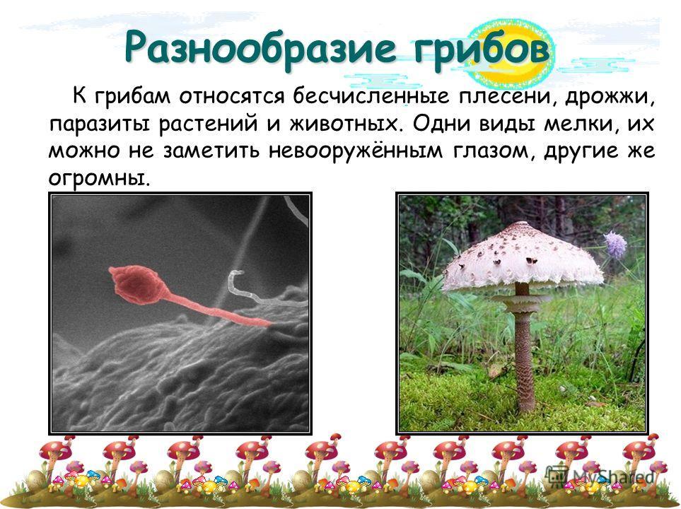 Разнообразие грибов К грибам относятся бесчисленные плесени, дрожжи, паразиты растений и животных. Одни виды мелки, их можно не заметить невооружённым глазом, другие же огромны.