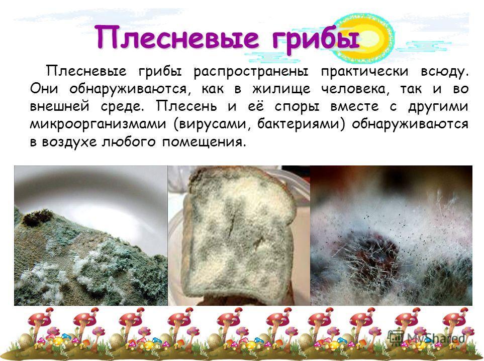 Плесневые грибы Плесневые грибы распространены практически всюду. Они обнаруживаются, как в жилище человека, так и во внешней среде. Плесень и её споры вместе с другими микроорганизмами (вирусами, бактериями) обнаруживаются в воздухе любого помещения