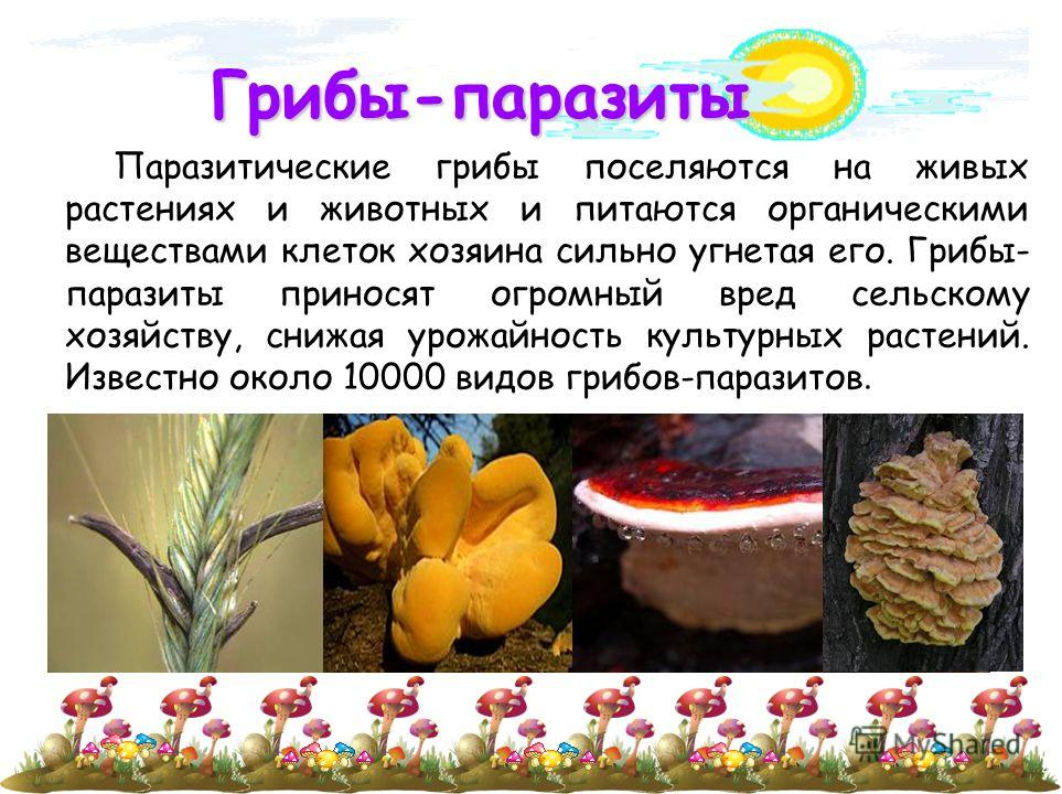 Грибы-паразиты Паразитические грибы поселяются на живых растениях и животных и питаются органическими веществами клеток хозяина сильно угнетая его. Грибы- паразиты приносят огромный вред сельскому хозяйству, снижая урожайность культурных растений. Из