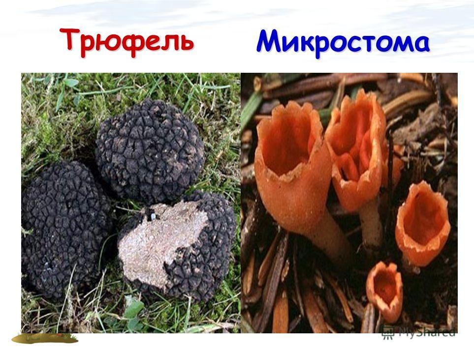 Трюфель Микростома