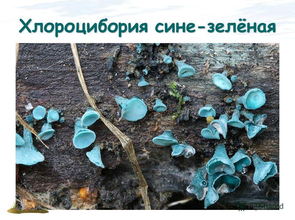 Хлороцибория сине-зелёная