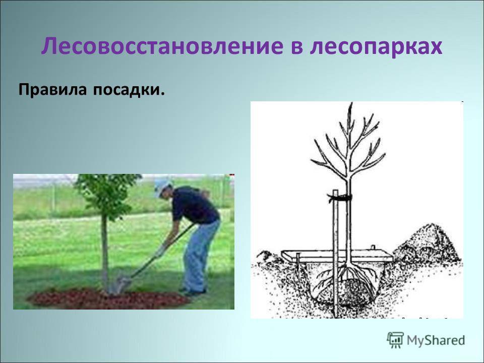 Лесовосстановление в лесопарках Правила посадки.